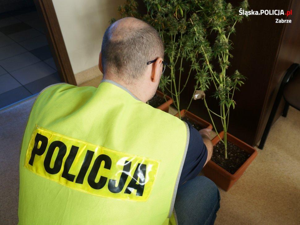 Kilka krzewów marihuany i 117 gramów suszu przejęli policjanci z Zabrza. To efekt ujawnienia domowej plantacji marihuany, w jednym z mieszkań w okolicy centrum Zabrza.