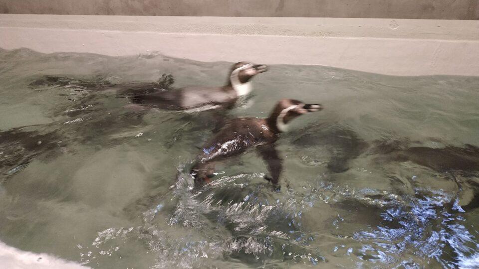 Są małe, żywotne i w końcu wróciły do Śląskiego Ogrodu Zoologicznego po ponad 40 latach! Jeszcze nie można ich oglądać w chorzowskim ZOO, ale mają się dobrze i przyzwyczajają się do nowego miejsca oraz opiekunów. Od poniedziałku są już w śląskim ZOO.